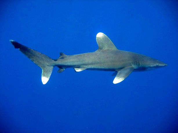 White tip Ocean Shark